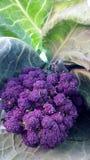 硬花甘蓝圆白菜有机紫色发芽 图库摄影