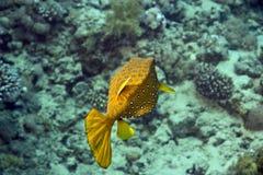 硬鳞鱼黄色 库存照片