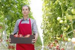 确信的妇女用在条板箱的蕃茄在温室的植物中 免版税库存图片