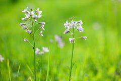 碎米荠属植物花 免版税库存照片