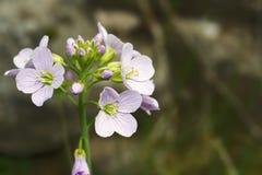 碎米荠属植物pratensis - cuckooflower一棵精美草甸植物 免版税库存照片