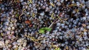 击碎葡萄的Stemmer压碎器在酿酒厂 股票视频