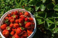 碗在农田的新近地摘的红色草莓 库存图片