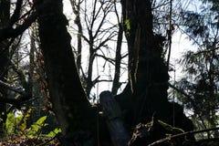 碗树在俄勒冈 免版税库存图片