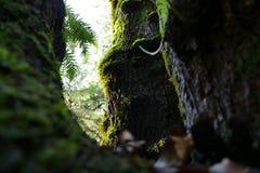 碗树在俄勒冈 免版税库存照片