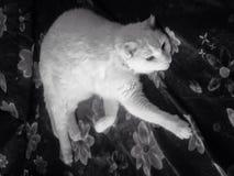 碧玉惊人的猫 免版税库存图片
