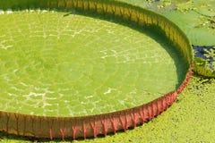 碧绿waterlily维多利亚叶子 免版税库存图片