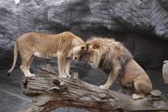 碰撞狮子 库存照片