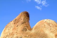 碰撞骆驼 库存照片