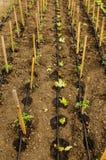 滴水磁带灌溉 图库摄影