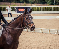 磨练驯马穿戴的骑马形式比赛马女骑士图象奥林匹克可实现的体育运动 黑马画象在驯马竞争时 免版税库存图片