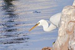 礁石急切地等牺牲者的苍鹭白色 免版税库存照片