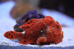 礁石石头鱼 图库摄影