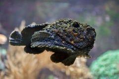 礁石石头鱼& x28; Synanceia verrucosa& x29; 库存照片