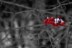 礁石莓果 免版税库存图片