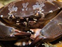 礁石螃蟹- Callinectes sp。 免版税库存图片