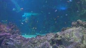 礁石鱼和大鲨鱼 影视素材