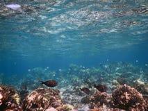 礁石鱼 免版税库存图片