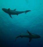 礁石鲨鱼尹和杨 免版税图库摄影