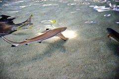 礁石鲨鱼游泳 免版税库存照片
