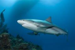 礁石鲨鱼表面 库存照片