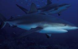 礁石鲨鱼 免版税库存图片
