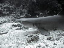 礁石鲨鱼whitetip 库存图片
