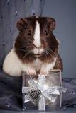 礼品几内亚重点猪 免版税库存照片