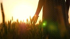 礼服的一个女孩是在麦田在日落 女孩的手接触麦子的金黄耳朵 妇女的剪影 股票视频