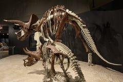 社论, 2017年7月12日, Bozeman蒙大拿,罗基斯的博物馆,三角恐龙化石展览 库存图片