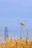 祈祷在太阳花茎的东Meadowlark 免版税库存照片