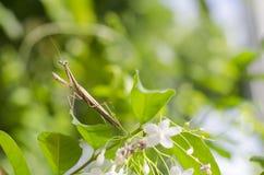 祈祷的螳螂01 图库摄影
