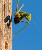 祈祷的表面螳螂 免版税库存图片