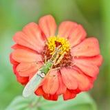 祈祷红色religiosa百日菊属的螳螂 免版税库存照片