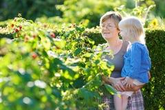祖母和她的孙采摘莓 免版税库存图片