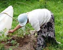 祖母耕种的蕃茄 库存图片