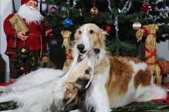 祝愿圣诞快乐的俄国猎狼犬小狗 库存图片