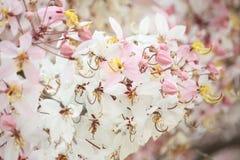 祝愿树,变粉红色Showe,桂皮Bakeriana Craib 免版税库存照片