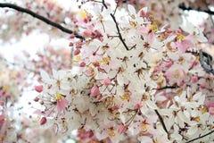 祝愿树,变粉红色Showe,桂皮Bakeriana Craib 免版税图库摄影