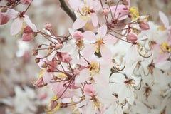 祝愿树,变粉红色Showe,桂皮Bakeriana Craib 免版税库存图片