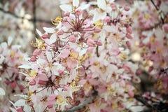 祝愿树,变粉红色Showe,桂皮Bakeriana Craib 库存图片