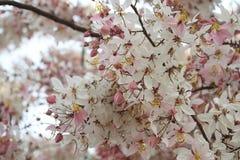 祝愿树,变粉红色Showe,桂皮Bakeriana Craib 库存照片