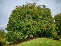 祝愿的树近Avebury在Engand 库存照片