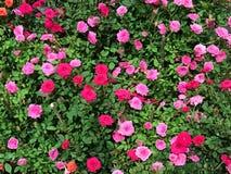 神仙美丽的桃红色和红色的缩样玫瑰色或在嘘花上升了 免版税库存图片
