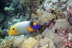 神仙鱼蓝色表面 免版税库存图片