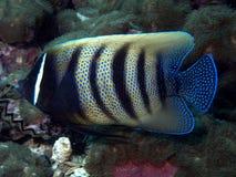 神仙鱼被结合的pomacanthus sexstriatus六 免版税库存图片