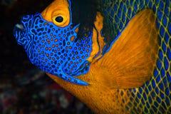 神仙鱼马尔代夫屏蔽黄色 免版税图库摄影