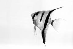 神仙鱼 库存照片