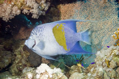 神仙鱼maculosus pomacanthus红海 库存图片