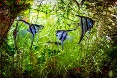 神仙鱼Pterophyllum scalare 免版税图库摄影